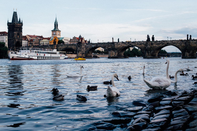 Swans in Prague's Lake